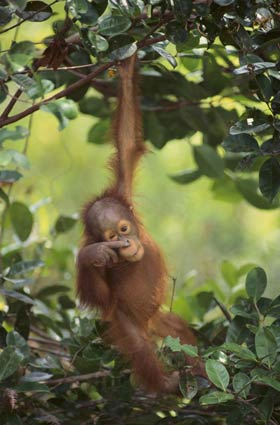 Borneo Tranquil Jungle with Gentle Orangutan
